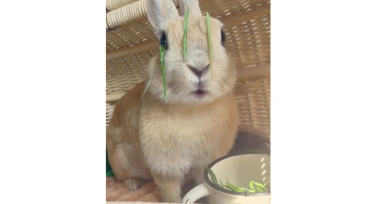 ご飯に夢中のウサギさん。お皿に顔を突っ込みすぎたあまり、お顔にかわいい異変が… (´∀`)♡ 18秒