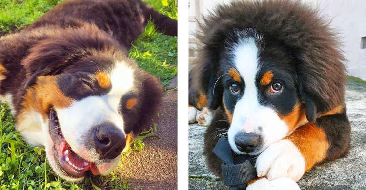 【見ているだけで幸せ!】笑ったり見つめてきたり♪ バーニーズの子犬が可愛くて …撫でまわしたくなる♡