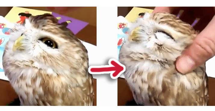 【最高のうっとり顔♪】飼い主さんのマッサージで、へにょ〜んとなったフクロウさん。その表情が…♡