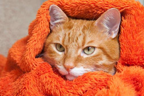 猫のリンパ腫について考えられる原因や症状、治療法と予防法