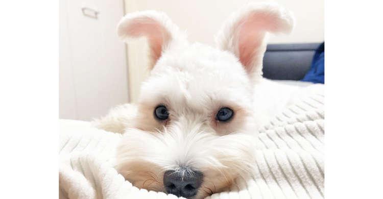 【頭に…天使の羽根?】白くてフワフワのお耳を持つ白シュナちゃんが、まさに天使級のかわいさだった♡