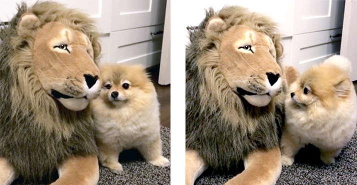 【一緒にあそぼ〜♡】ライオンくんと遊びたいポメラニアンがこの後、かわいい行動に走る… (*´ω`*)