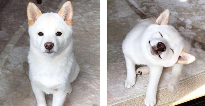 【4月8日は柴の日♪】ニッコリ笑顔の白柴ガール! 表情豊かな柴犬の、癒し系スマイルにキュン♡ 7枚