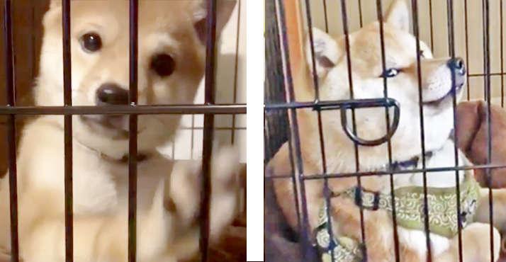 【なにか御用ですか♪ 】ケージの中でのびのびする、柴犬さんの「ここはボクのお家」感が可愛かった♡