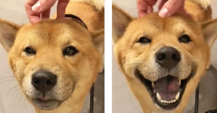 お顔がゆるみっぱなし♡ 頭をなでなでされた柴犬さんの、表情の変化を楽しむ27秒間( *´艸`)