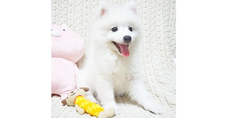 【子犬の成長日記♪】コロコロとした日本スピッツの赤ちゃん→1歳になった今の姿はというと…(*´ω`)