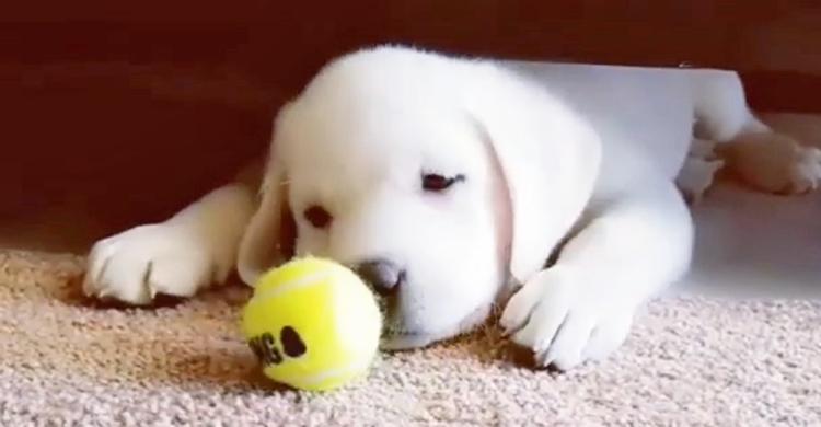 【おかしいなぁ?】ボールをパクッと咥えて運びたいが、思うようにいかない子犬。その姿が可愛くて…♡