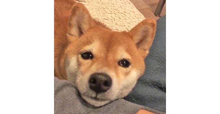 あごを乗せ、うるうるの瞳で一生懸命におねだりする柴犬さん♪ その子犬のような表情に…きゅんっ♡