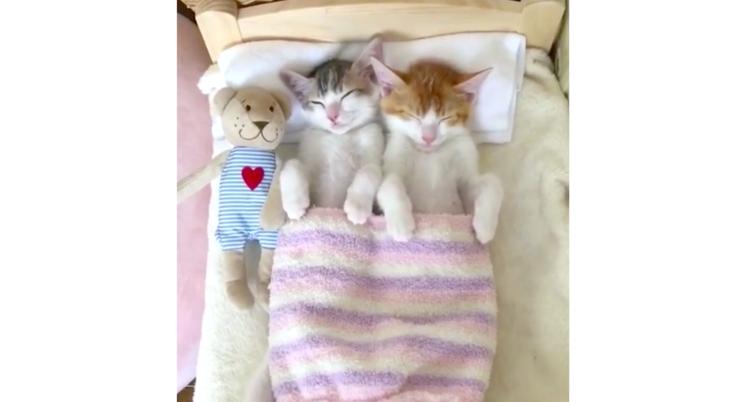 【 ベッドでお昼寝中♪】双子の子猫がベッドを使いこなす姿が、かわいすぎてたまらない…(*´∇`*)♡