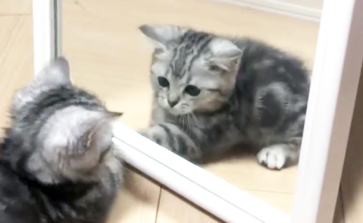 【…あの子はダレ?】はじめて鏡をみた子猫。一緒に遊ぼうと、ぴょんぴょんする姿がかわいい(´ω`*)♡