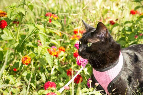 猫に散歩は必要? ハーネスに慣れさせるメリットや装着を嫌がる場合の対処法