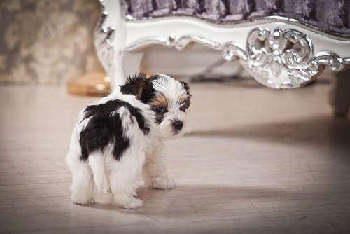 犬がおしりを気にしていて、ただれや腫れがあれば肛門の病気の可能性あり?