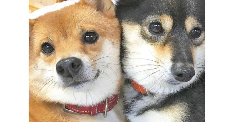 【離れられないっ!】黒と赤のキュートな柴犬夫婦♪ ムギュッと密着する姿がヤバカワだった(*´Д`)♡