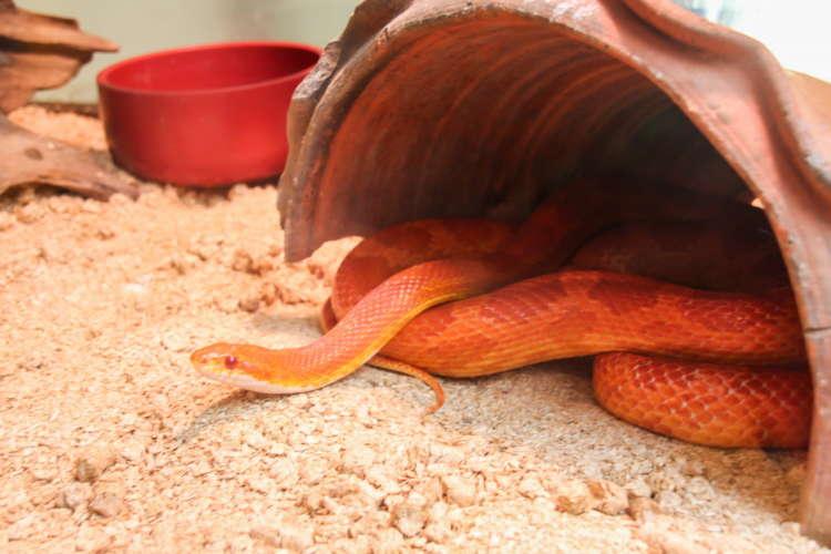 ペットとしての蛇。その入手方法や飼育方法について
