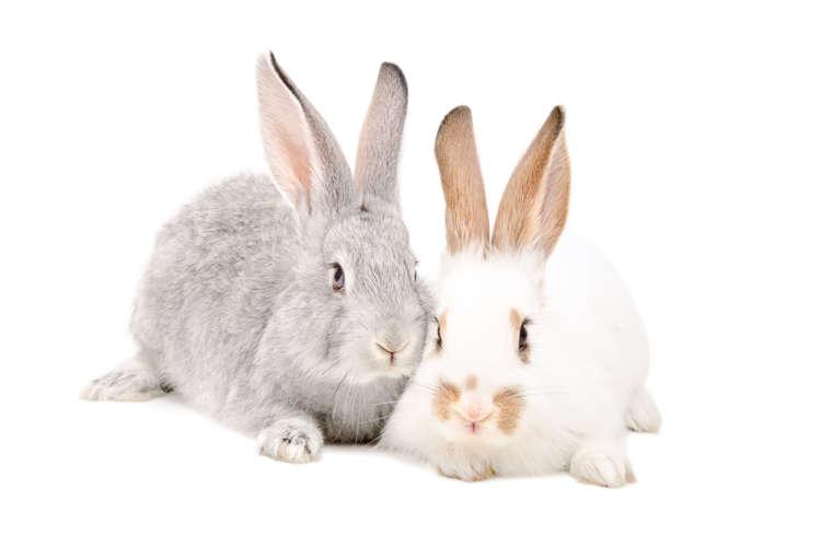 ウサギの鳴き声について。 鳴き声は感情を表現している証拠?