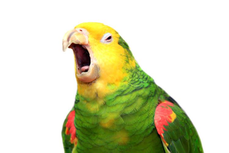 【獣医師監修】鳴き声でわかるセキセイインコの気持ちと、呼び鳴きへの対処法