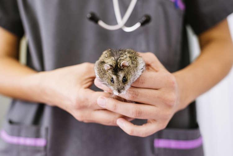 【獣医師監修】ハムスターが怪我や病気をした際にかかる治療費について
