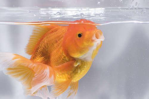 金魚の松かさ病 考えられる原因や症状、治療法と予防法
