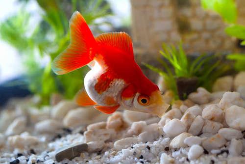 金魚に白い斑点があったら要注意。白点病について