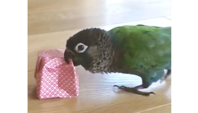 【よろこぶ顔がみたいから♪】プレゼントをくわえて走るピピちゃん! しかし、実は…♡ 笑(24秒)