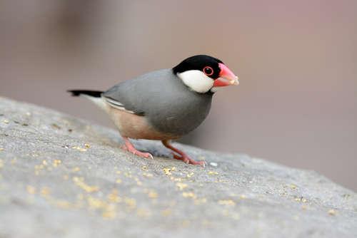 文鳥を飼ったらエサは何を与えればいい? 文鳥の主食・副食