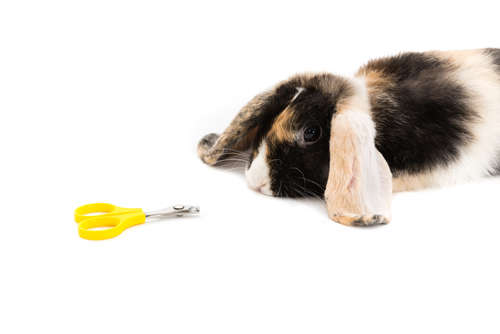 ウサギの爪切り。自宅で切る際のコツや、病院に依頼する際の料金について