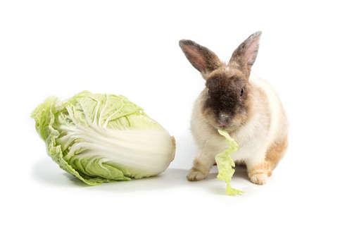 ウサギにキャベツを与えていい? キャベツのメリットや注意点