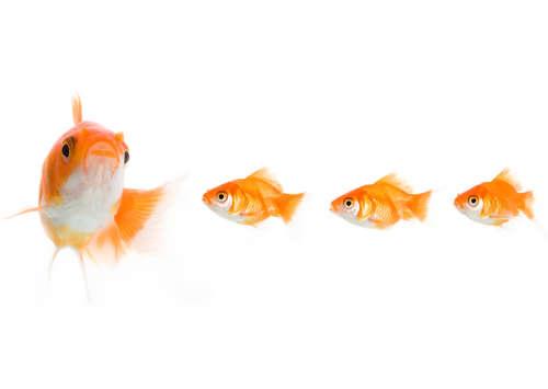金魚の稚魚って何を食べる? 生餌と人工餌のメリットとデメリット