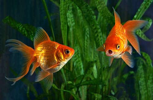 金魚がエサをあげても食べない。そんな時はどうしたらいい?