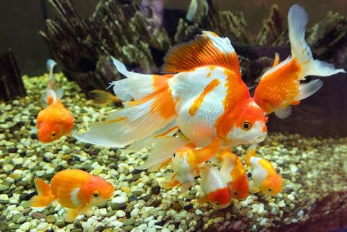 金魚を稚魚から育てよう! 飼育のポイントと注意点