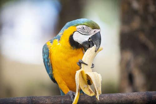 バナナはインコに与えていい果物?