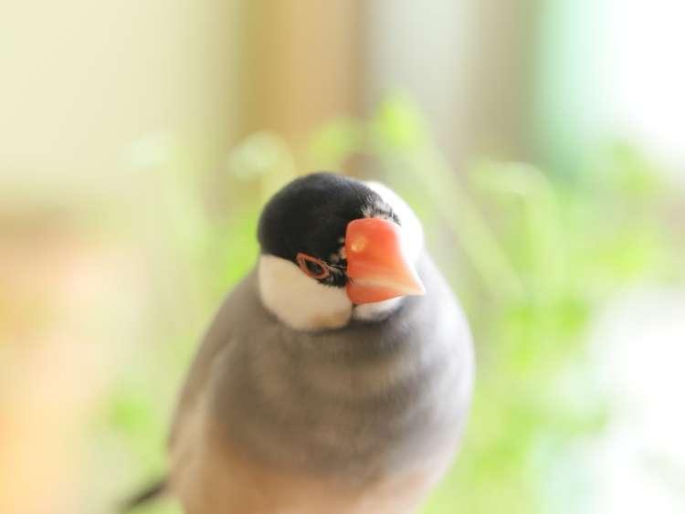 目指せ手乗り文鳥。文鳥のヒナを「さし餌」で育てるポイントとは