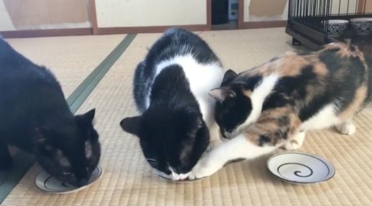 【隙ありニャ!】なかよくご飯を食べる3匹の猫たち→しかし、このあと先に食べ終えたニャンコが … 笑