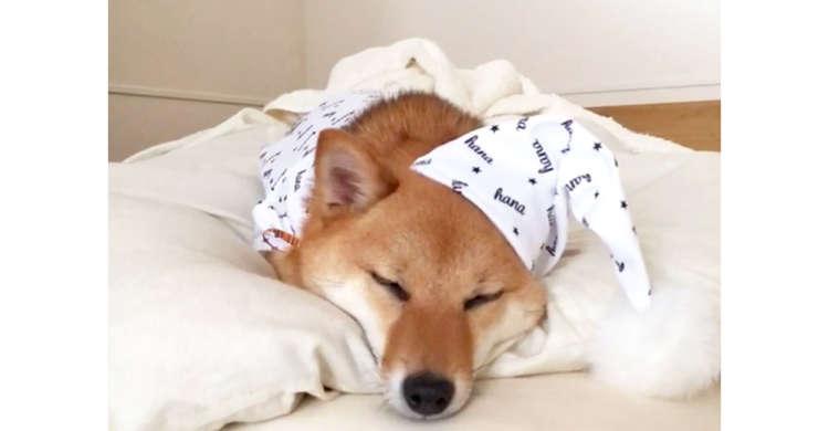 パジャマ姿でスヤスヤ眠る柴犬ちゃん → じーっと、見つめているとパチっと目が合って…♡
