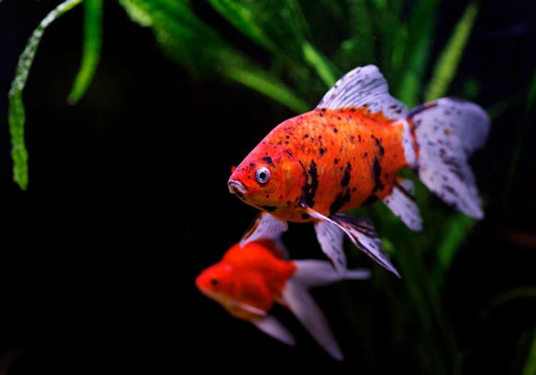 金魚のカラダが黒くなる黒斑病は、じつは回復の証