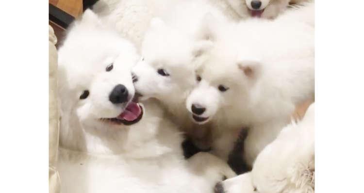 【もふもふに迫られて…】子犬に、ちょっかいをかけられる大人ワンコが→ まんざらでもなさそうだった!