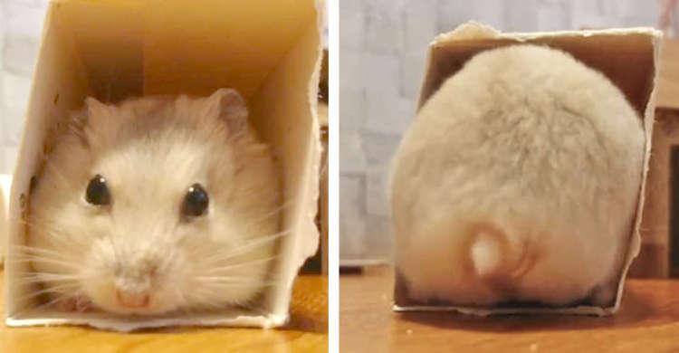 【ハムケツの真骨頂! 】箱の中をほりほりするハムスターのお尻が、プルプルしながら押しては返す…♡