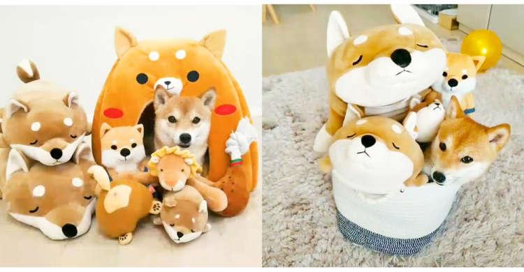 【本物はどこでしょうか?】ぬいぐるみに隠れて柴犬ちゃんがかくれんぼ。 その姿に微笑みが止まらない♡
