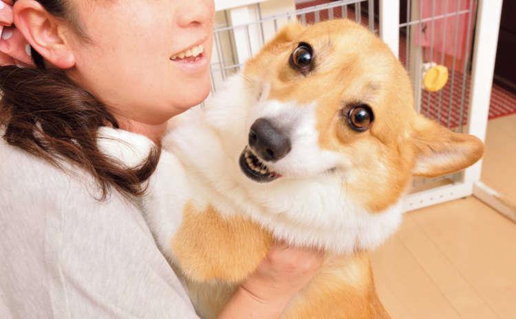 【犬の飛びつきは感情豊かな証拠?】コーギー様の重〜い思〜い体当たり