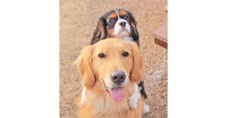 誰も信用しなかった保護犬のゴールデンレトリバーが、家族の「愛情」に心を開いてくれるまで…。
