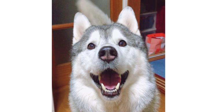 【人を幸せにする笑顔の持ち主♪】ほんわか雰囲気を持つハスキー「文太」くん。そのかわいい姿に迫る♡