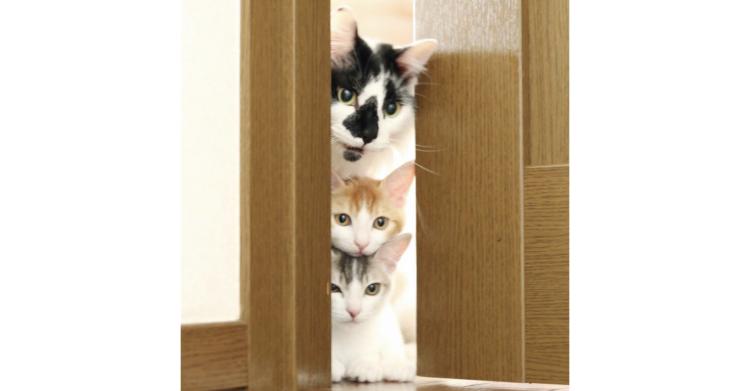 【先住猫と2匹の子猫】突然やってきた2匹の保護猫をまえに「パパ」になることを選んだ先住猫のそらくん