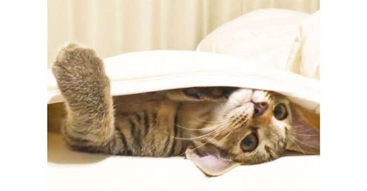 「かくれんぼは得意だにゃ」ベッドパッドの隙間で遊んでいたニャンコ♪ …このあと、上手に姿を隠す♡