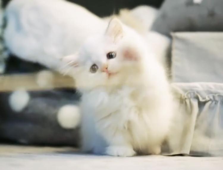 【愛らしさに悶絶】子猫ちゃんの全力パタパタパンチが、可愛すぎて倒れそう♡ 35秒