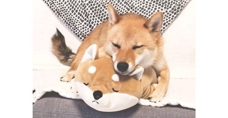 大好きな柴ぬいぐるみに密着して、眠そうにする柴犬さん♪ 安心しきった様子が…たまらなく可愛かった♡