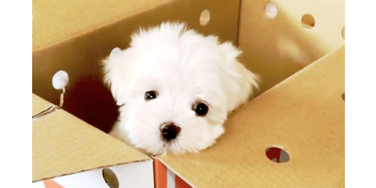 【家族はじめました】白くてフワフワの子犬がやってきた! 先住ワンコたちとドキドキの初対面…♡