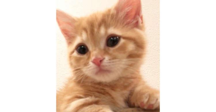【オヤスミしたい? 遊びたい?】眠くなると困り顔になっちゃう子猫♡ とろ〜んとした表情に釘付け♪