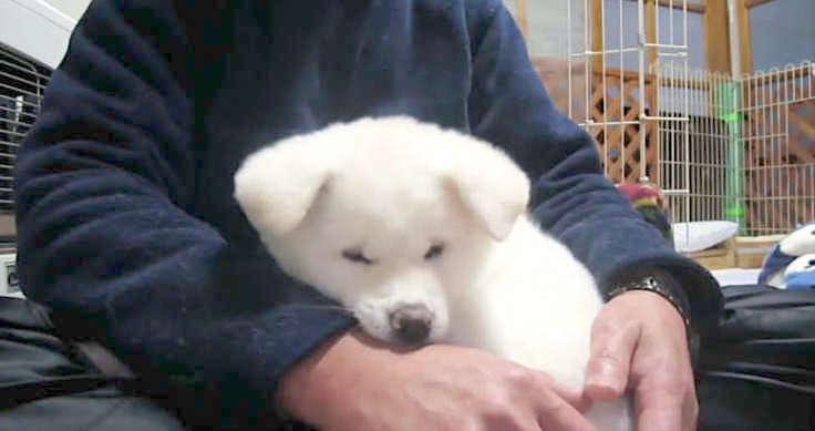 【ここがいいの♪】膝の上でくつろぐ秋田犬の子犬 →この後、膝から降ろされてしまうと… (・艸・)