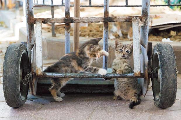 リヤカーの隙間でじゃれあう子猫たち。