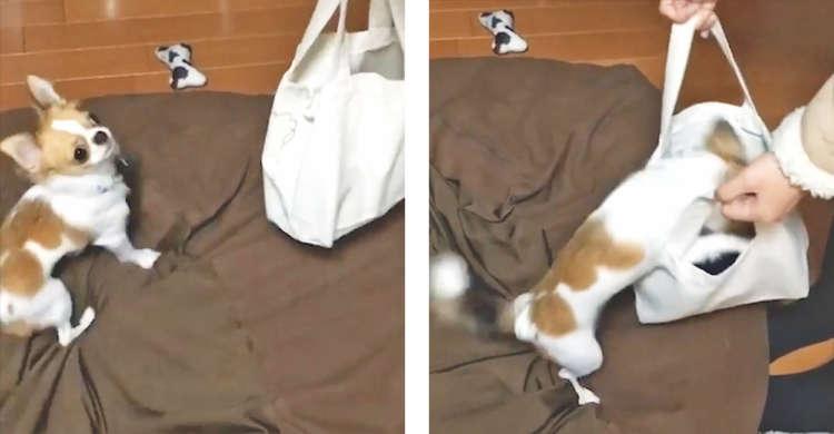 【ここに入れて!】飼い主さんのお出かけを知り、付いて行こうと頑張るチワワが可愛くて…(38秒)